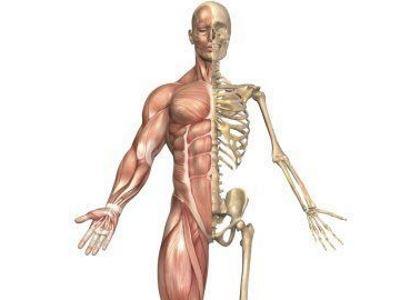 a csontok és ízületek izmai