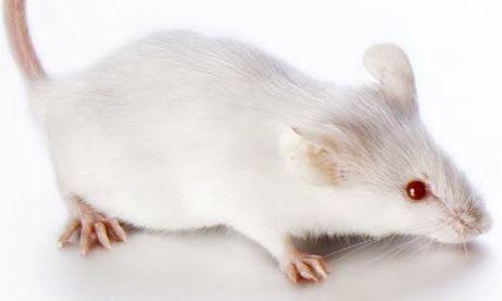 56a30cb9b945 Átlátszó egér segíthet az emberi szervezet gyógyításában. Az egeret,  amelynek a szövetei mellett a szervei is átlátszóak, amerikai tudósok  hozták létre.